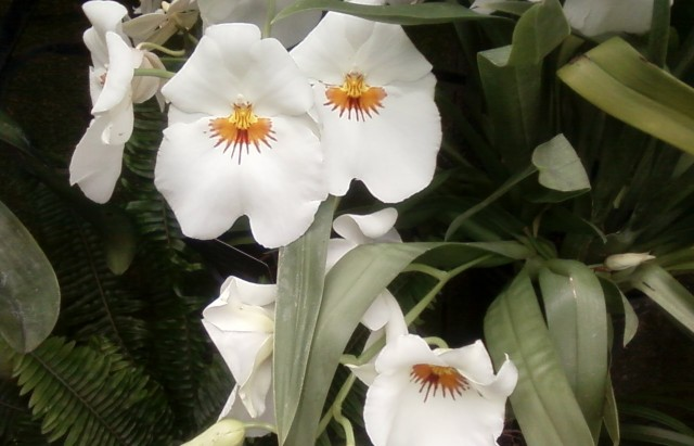 white orchid, longwood gardens 2013 by litebeing chronicles