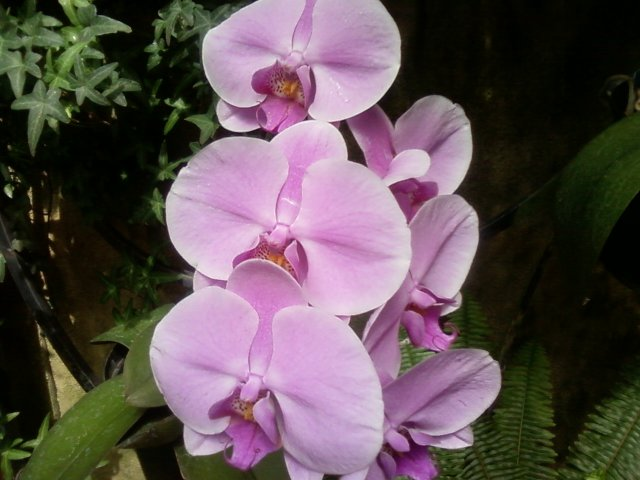 pink orchid , longwood gardens 2013 by © litebeing chronicles