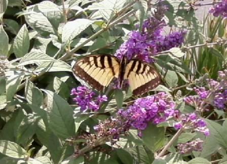 maleeasterntigerswallowtail