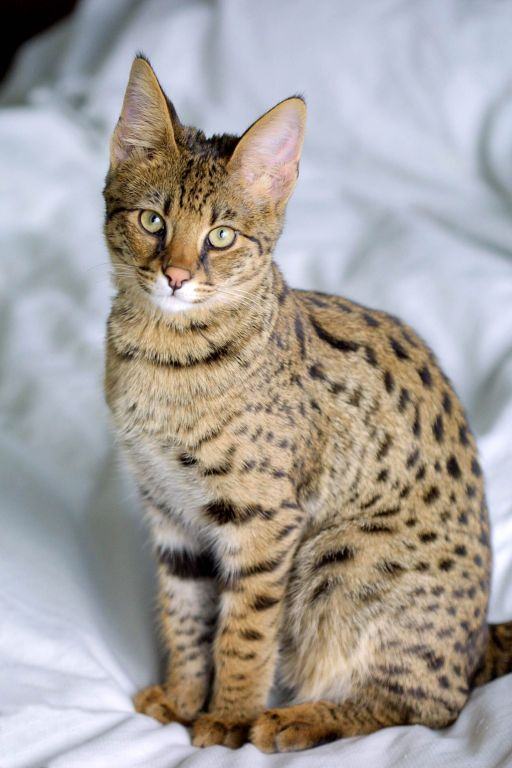 Savannah_Cat_portrait