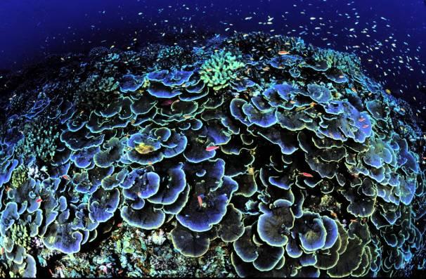 Coral_at_Jarvis_Island_National_Wildlife_Refuge